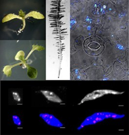 The LINC complex contributes to heterochromatin organisation and transcriptional gene silencing in plants
